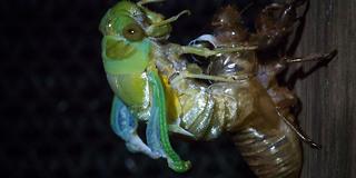 Insektets utrolige forvandling: Bryter ut av eget skinn etter 7 år
