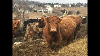Scottish Highland Cattle Flock To Accordion Music