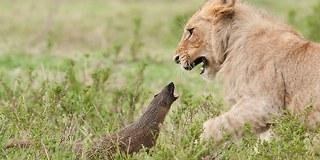 Rasende mungo tok opp kampen mot fire løver