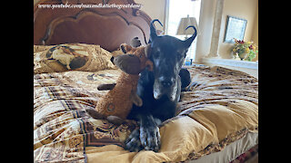 Sweet Great Dane Loves To Snuggle With Her Stuffie Toys In Bed