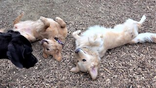 Golden Retrievers play as confused Great Dane puppy looks on