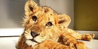 Dødsdømt løveunge fikk en ny sjanse