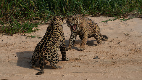 Male Jaguars Engage Into A Fierce Territorial Fight