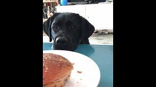 Dog gets hypnotized by owner's sandwich
