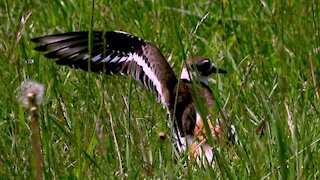 Mother killdeer and her mate are extremely dedicated parents