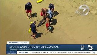 Shark captured by lifeguards at Newport Beach