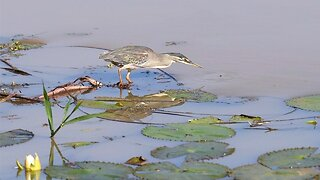 CATCH OF THE DAY! INTELLIGENT HERON USES BAIT FISH FOR AN EASY CATCH