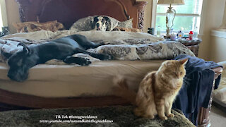 Purring Cat And Lazy Great Danes Do Not Want To Get Out Of Bed