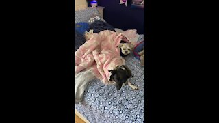 Three dogs settle down for nap with a bedtime story