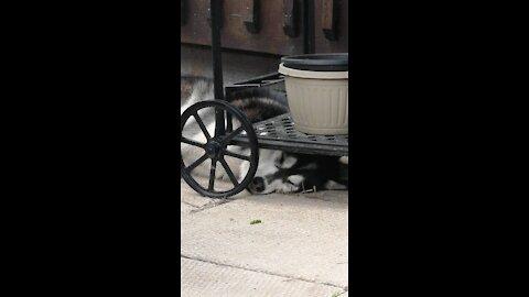 This Husky can sleep anywhere