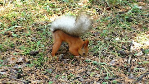 Funny behavior of a squirrel