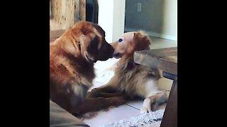 Golden Retriever lovingly kisses his doggy best friend