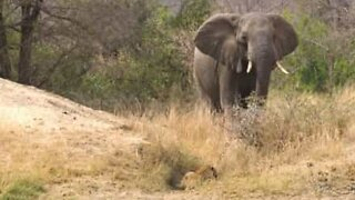 Elephant saves impala from leopard attack