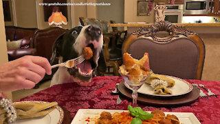 Polite Great Dane Loves Spaghetti And Meatballs