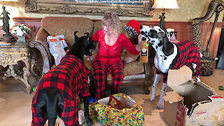 Great Danes have fun opening Christmas gifts
