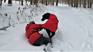 Gigantic Great Dane puppy repeatedly hipchecks owner into snowdrifts