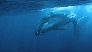 Diver captures sound humpback whale under water