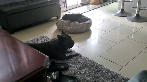 Frenchie hears his buddy running...trys looking for him