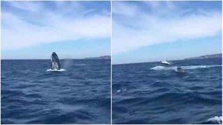 Hvaler laver en majestætisk optræden