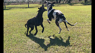 Playful Great Danes Love To Leap