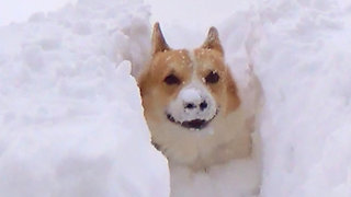 Corgi is swimming in the snow and having a great time!