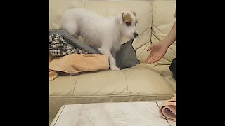 Jack Russell Terrier helps owner with the housework
