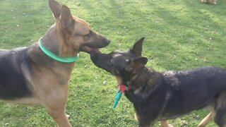 German Shepherd dogs fooling around