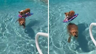 Corgi goes for ride on top of Golden Retriever in the pool