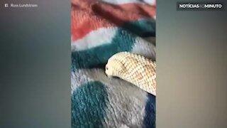 Cobra tenta se enterrar em cobertor