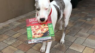 Deaf Great Dane trains to become a pizza delivery boy