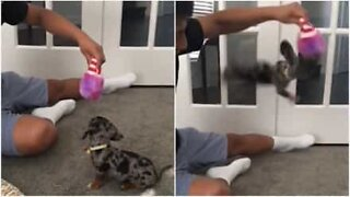 This puppy got over-excited playing with her Christmas presents!