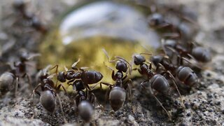 Incredible macro footage shows colony of ants devouring every drop of delicious honey