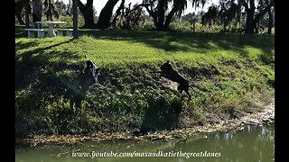 Energetic Great Dane loves digging up dirt
