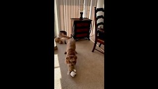 Crazy Labradoodle goes nuts over her toy