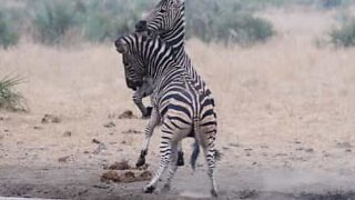 Kruger National Park is the site of an epic zebra fight
