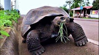 Giant Galapagos tortoise takes a stroll down bike path
