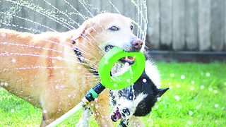 """Dog """"helps"""" owner water the lawn"""