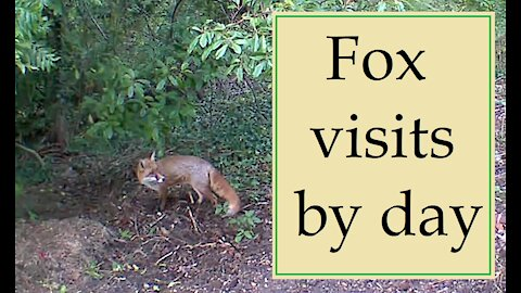 Fox visits by day at Our Wildlife Oasis