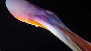 Mesmerising Multi-coloured Octopus Caught Swimming In The Depths Of The Ocean In Spectacular Hd Footage