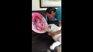 Bulldogs introduced to newborn baby girl