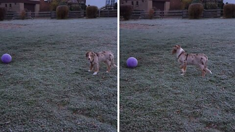Puppy discovers ball, adorably unsure what to do with it