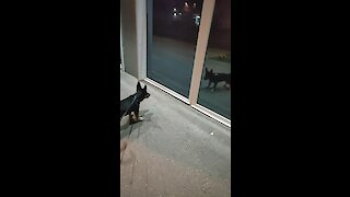 Puppy barks at his reflection during walk