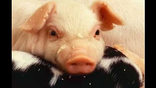 The cutest piglet compilation ever