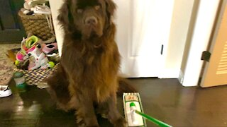 Newfoundland won't budge for mom to mop
