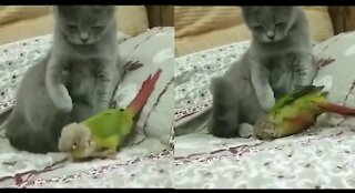 cat playing with budgie