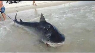 Stor tigerhai fanget av fiskere