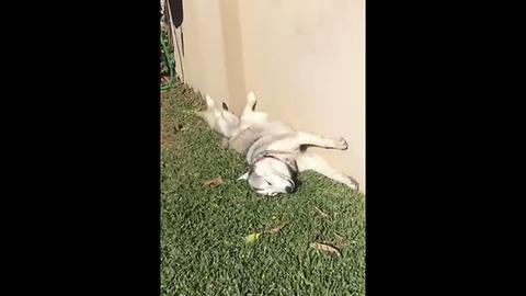 Husky sunbathes in hilariously bizarre position