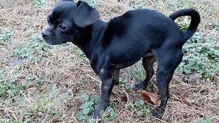 Dog With Cerebellar Hypoplasia Runs