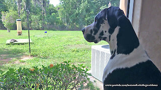 Great Dane Gets Really Excited When He Sees A Squirrel