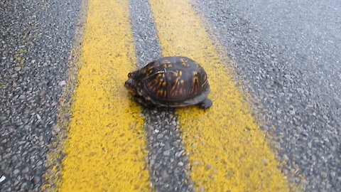 Helping A Turtle Off The Road